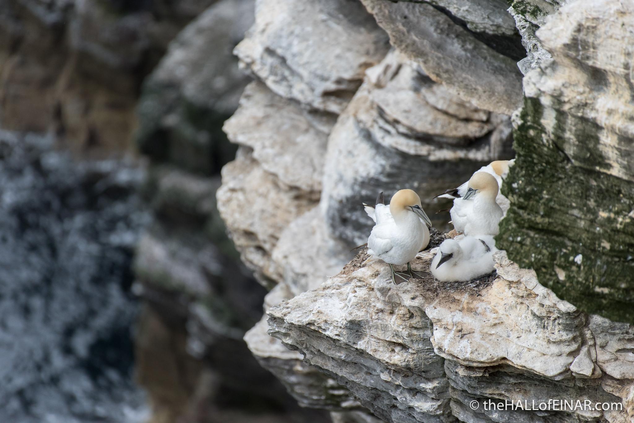 Gannets - The Hall of Einar - photograph (c) David Bailey (not the)