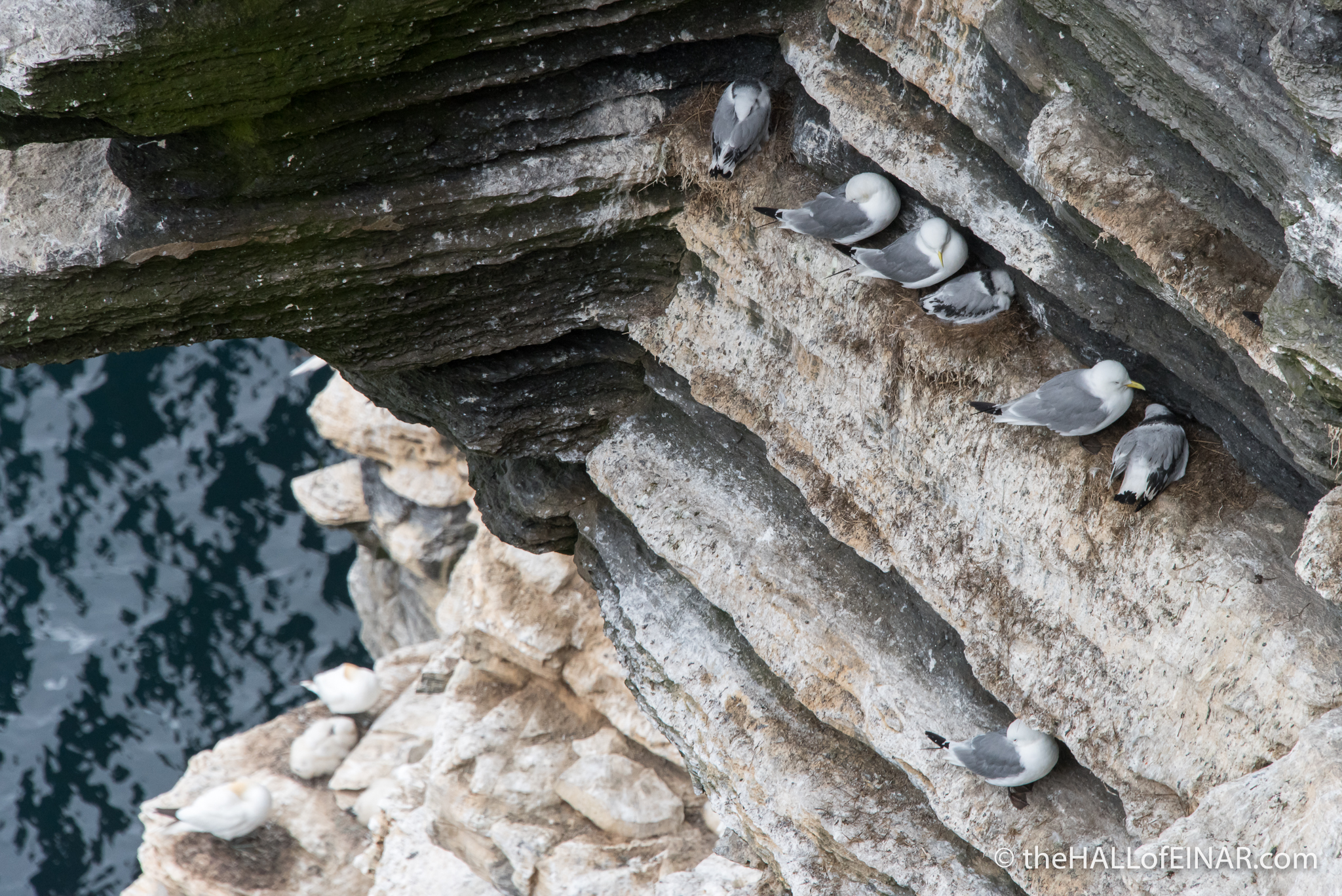 Kittiwakes - The Hall of Einar - photograph (c) David Bailey (not the)