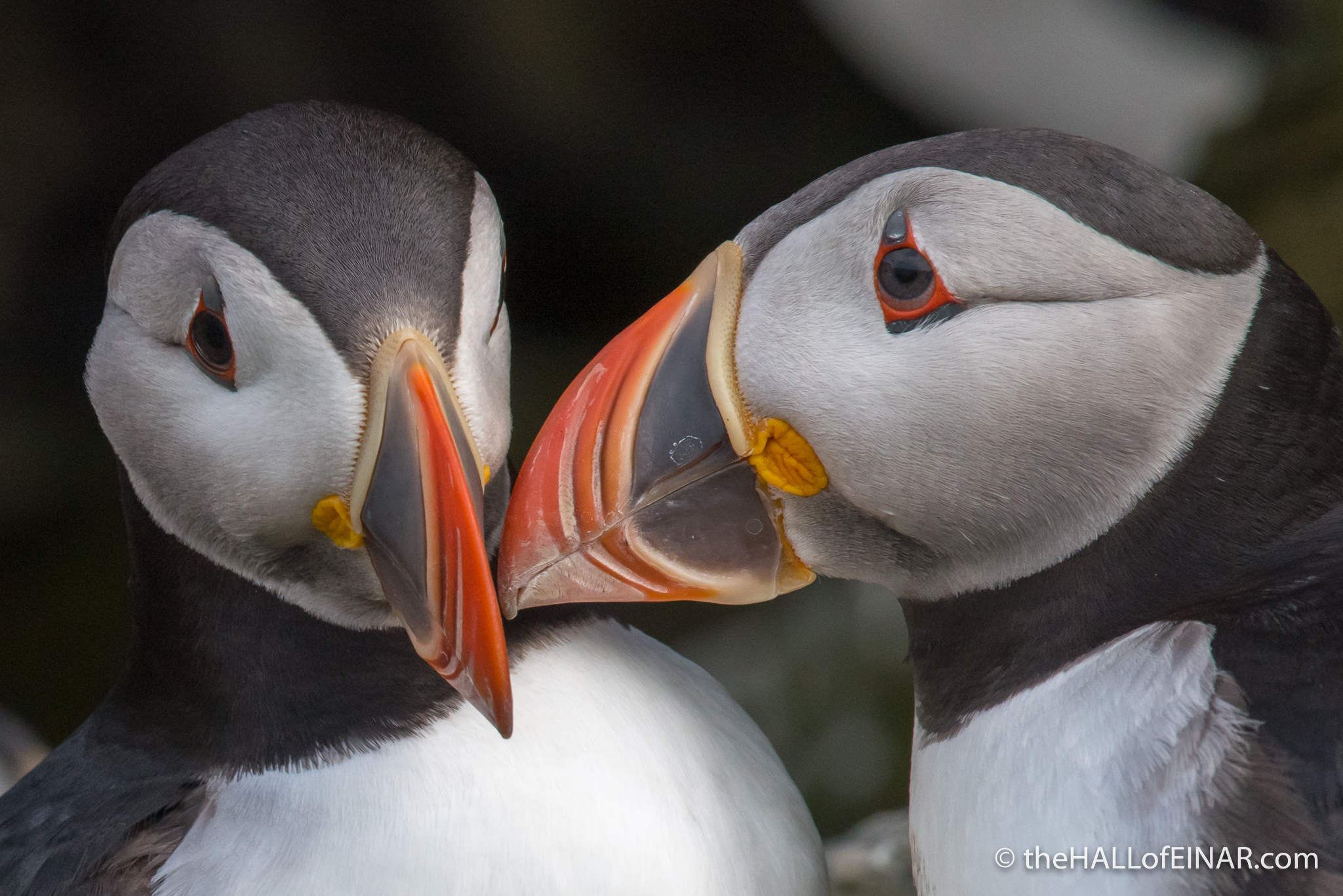 Puffin Love - The Hall of Einar - photograph (c) David Bailey (not the)