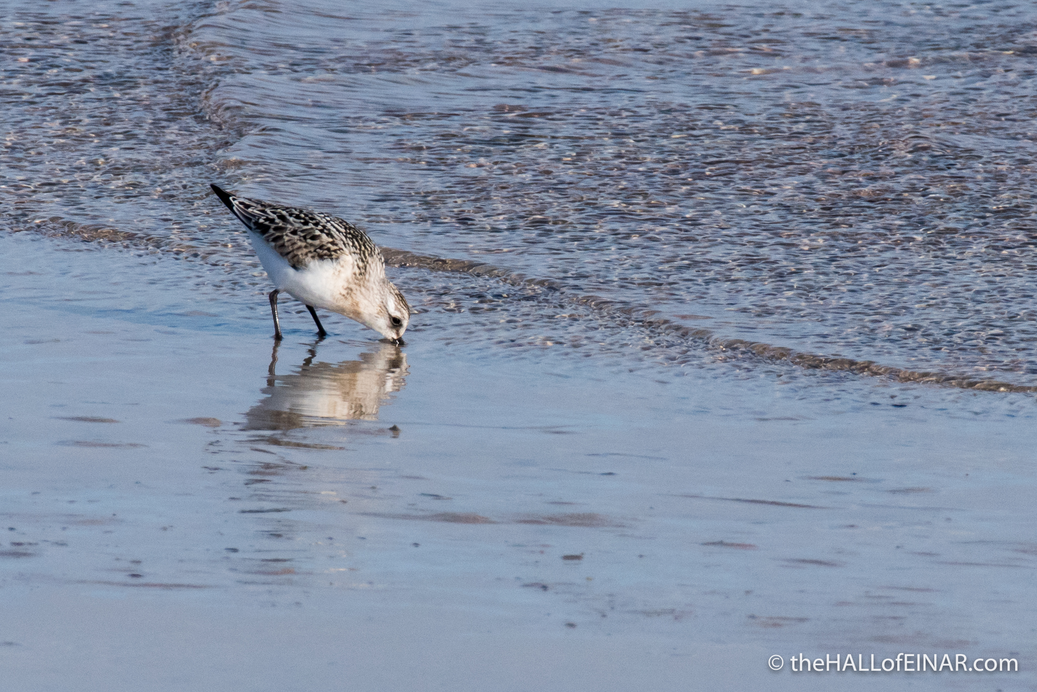 Sanderling - The Hall of Einar - photograph (c) David Bailey (not the)