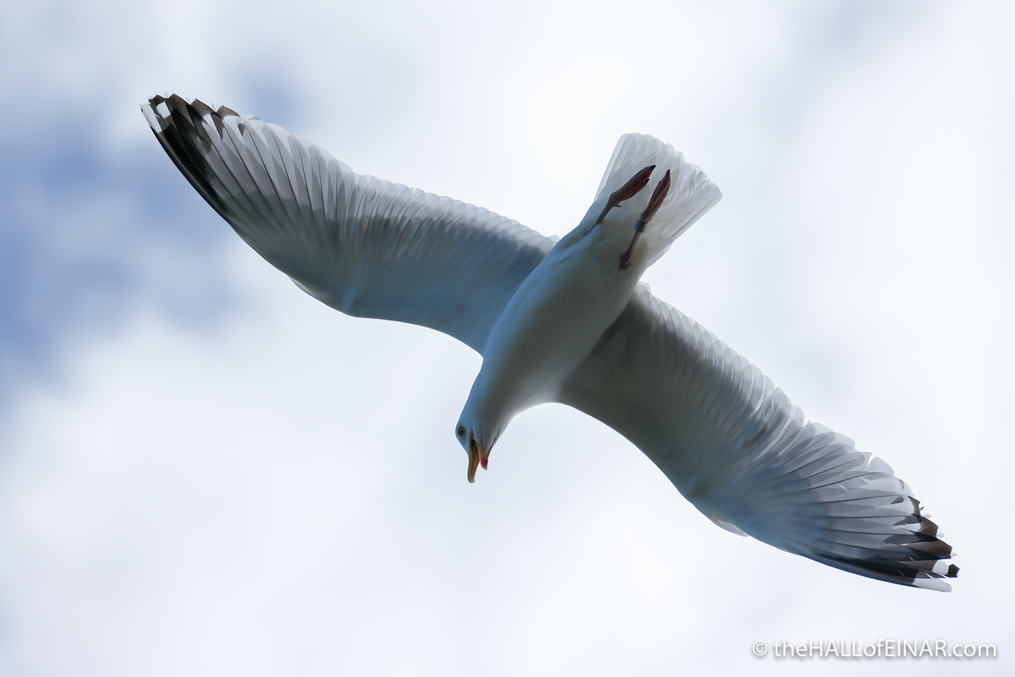 Gull - The Hall of Einar - photograph (c) David Bailey (not the)
