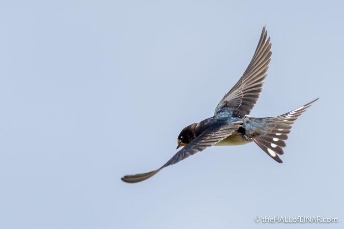 Barn Swallow - The Hall of Einar - photograph (c) David Bailey (not the)