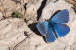 Adonis Blue Butterfly - The Hall of Einar - photograph (c) David Bailey (not the)