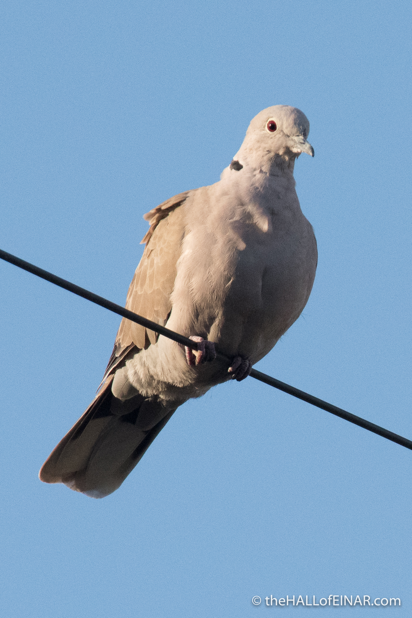 Collared Dove - The Hall of Einar - photograph (c) David Bailey (not the)