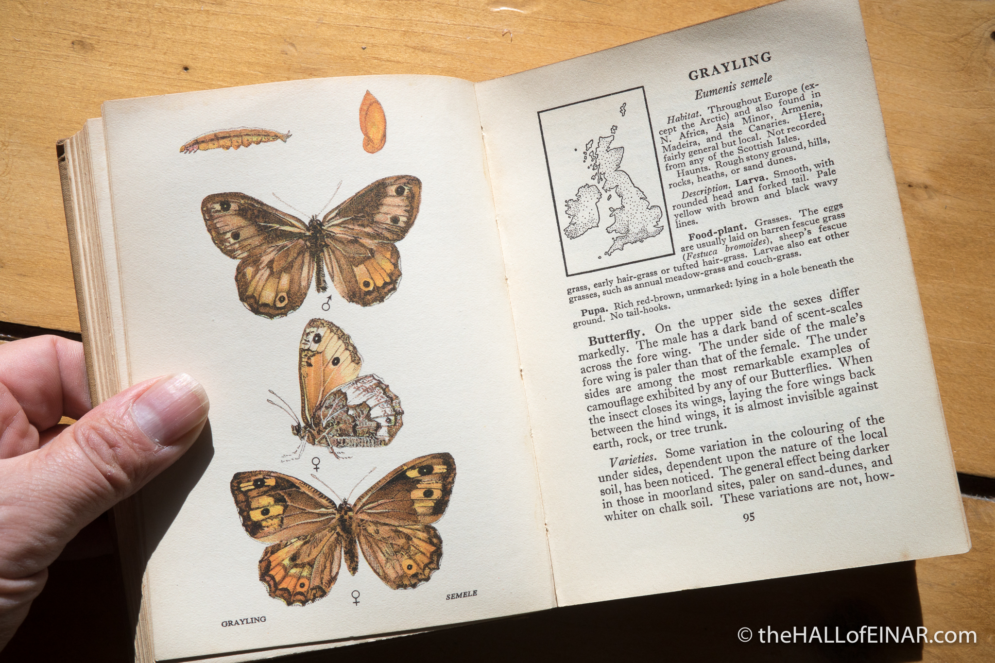 Grayling - The Hall of Einar - from A Butterfly Book for the Pocket by Edmund Sandars