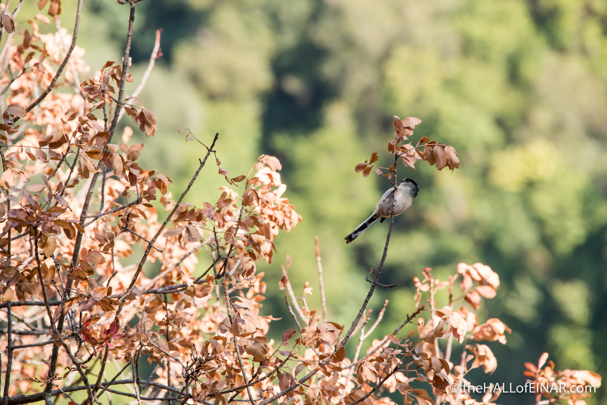 Long Tailed Bushtit - The Hall of Einar - photograph (c) David Bailey (not the)
