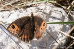 Scotch Argus - The Hall of Einar - photograph (c) David Bailey (not the)