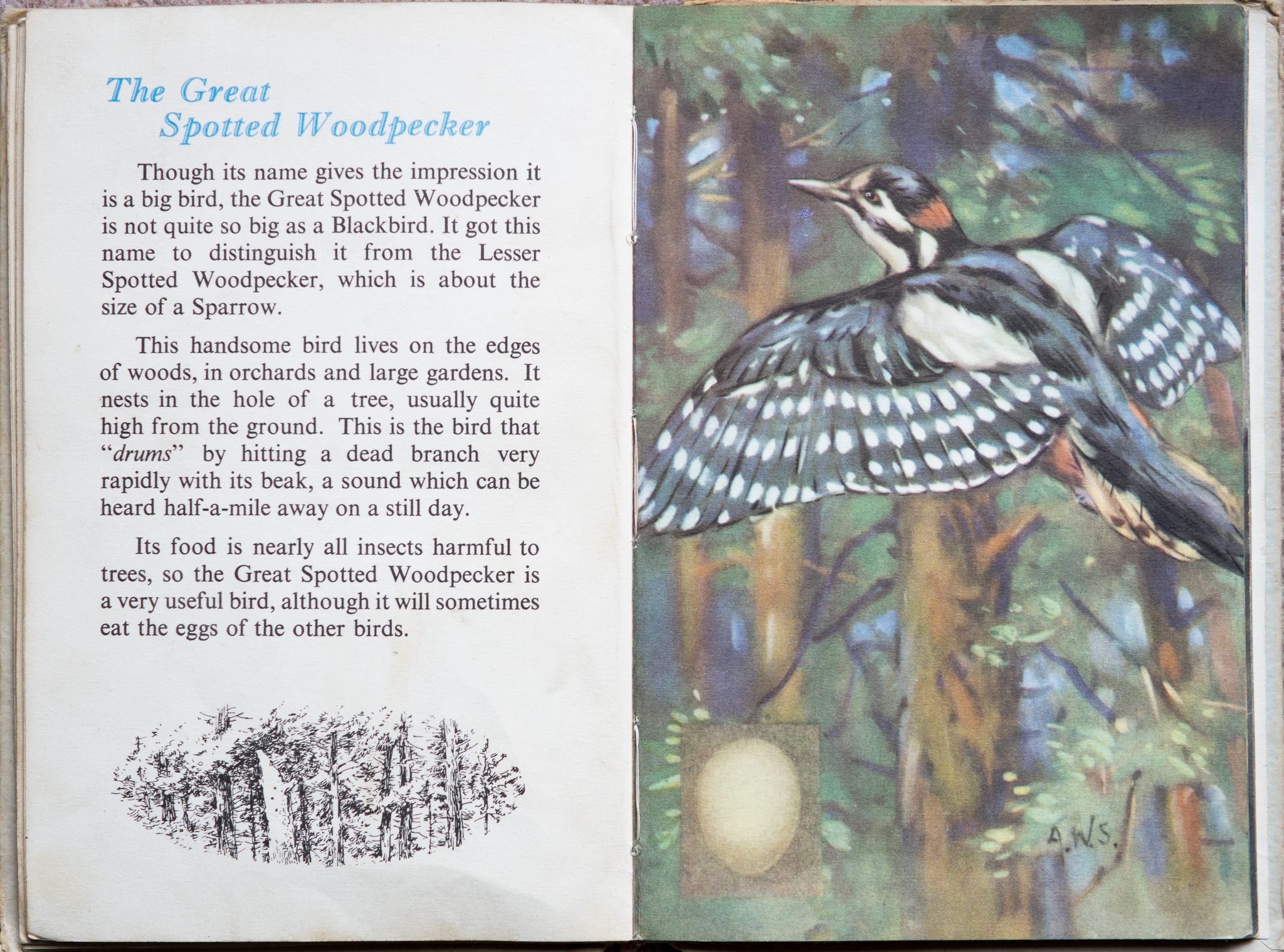 The Second Ladybird Book of British Birds - The Great Spotted Woodpecker