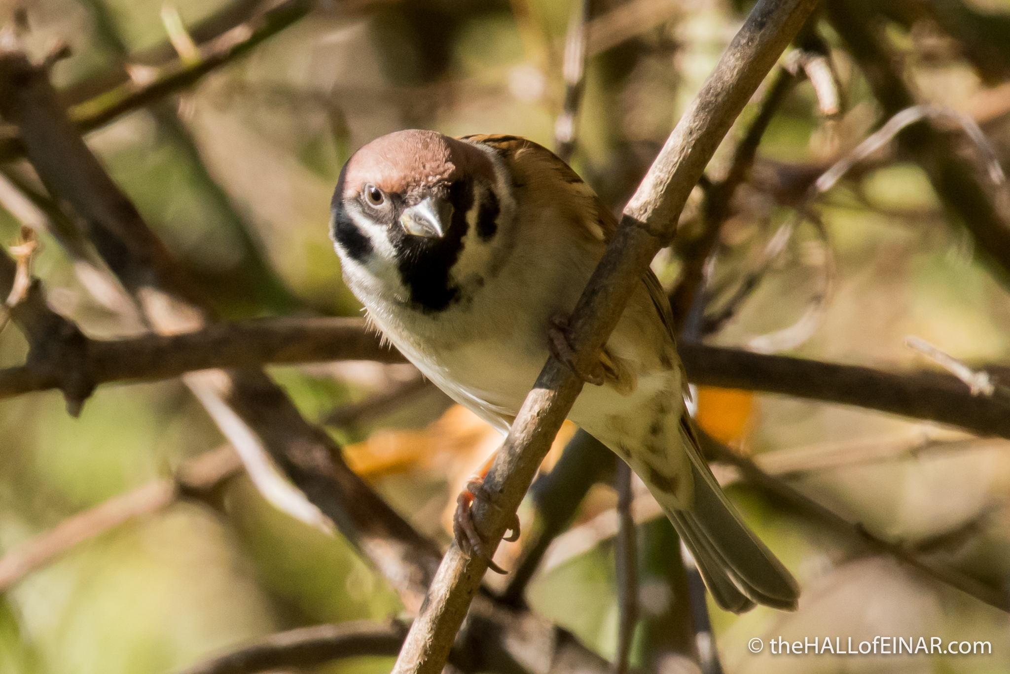 Tree Sparrow - The Hall of Einar - photograph (c) David Bailey (not the)