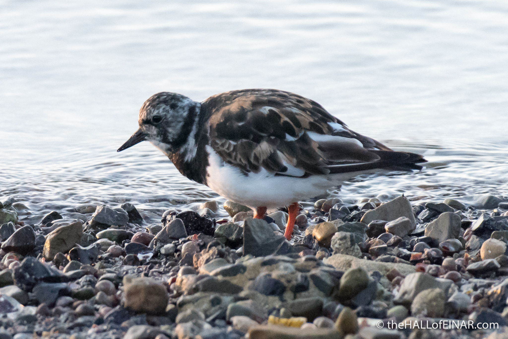 Turnstones - The Hall of Einar - photograph (c) David Bailey (not the)