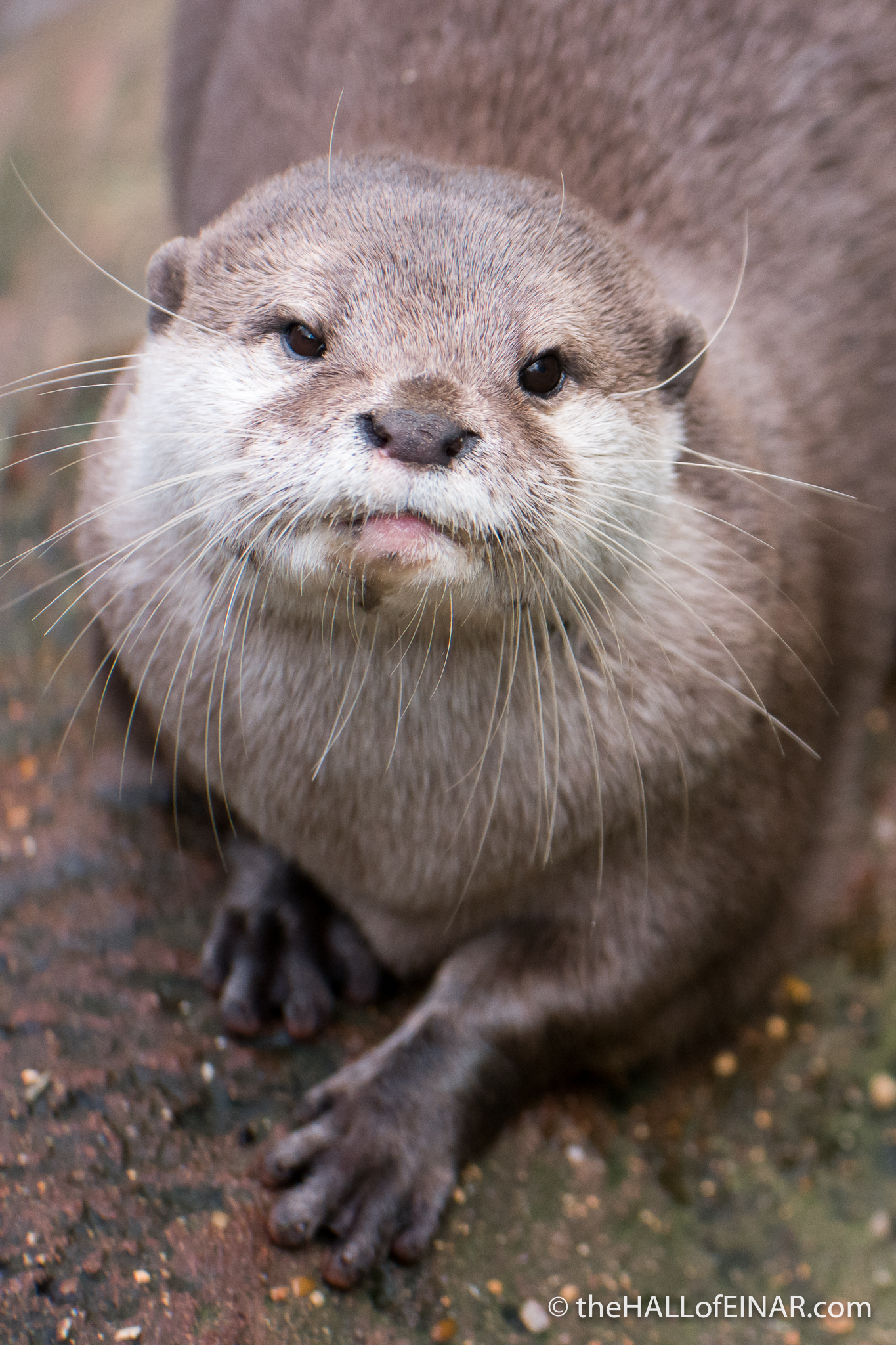 Asian Short Clawed Otter - The Hall of Einar - photograph (c) David Bailey (not the)