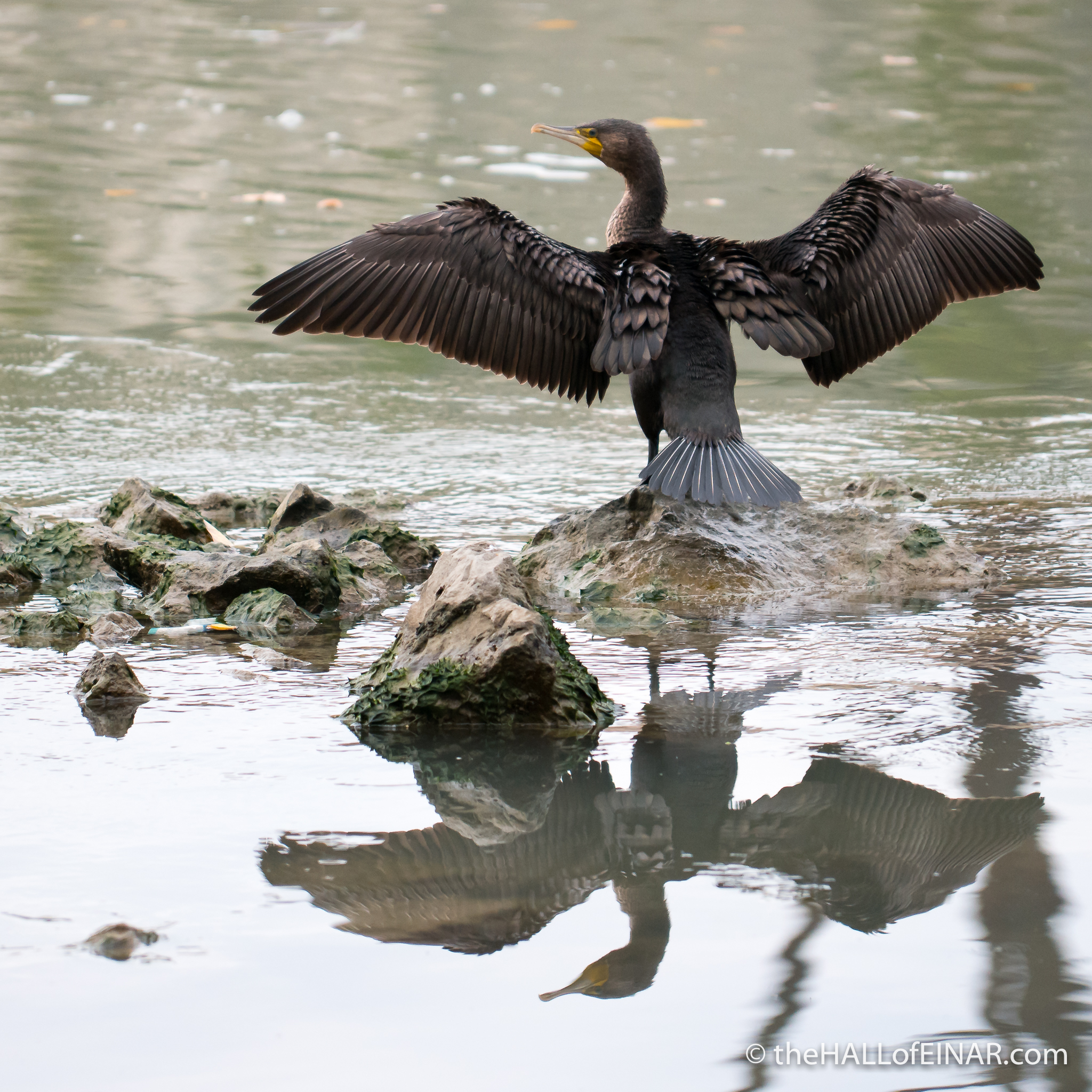 Common Cormorants - The Hall of Einar - photograph (c) David Bailey (not the)