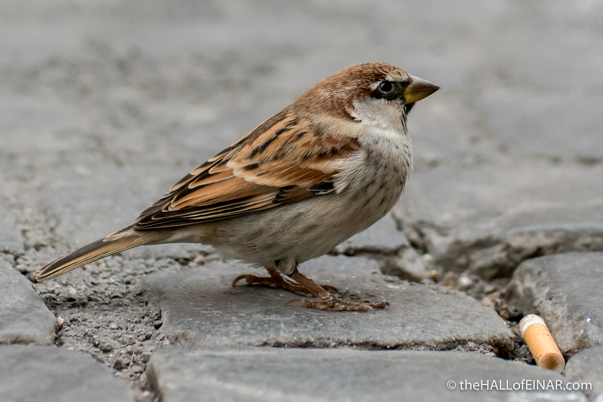 Italian Sparrows - The Hall of Einar - photograph (c) David Bailey (not the)
