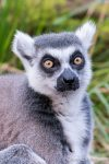 Ring Tailed Lemur - The Hall of Einar - photograph (c) David Bailey (not the)