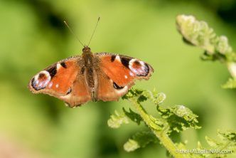Peacock Butterfly - The Hall of Einar - photograph (c) David Bailey (not the)