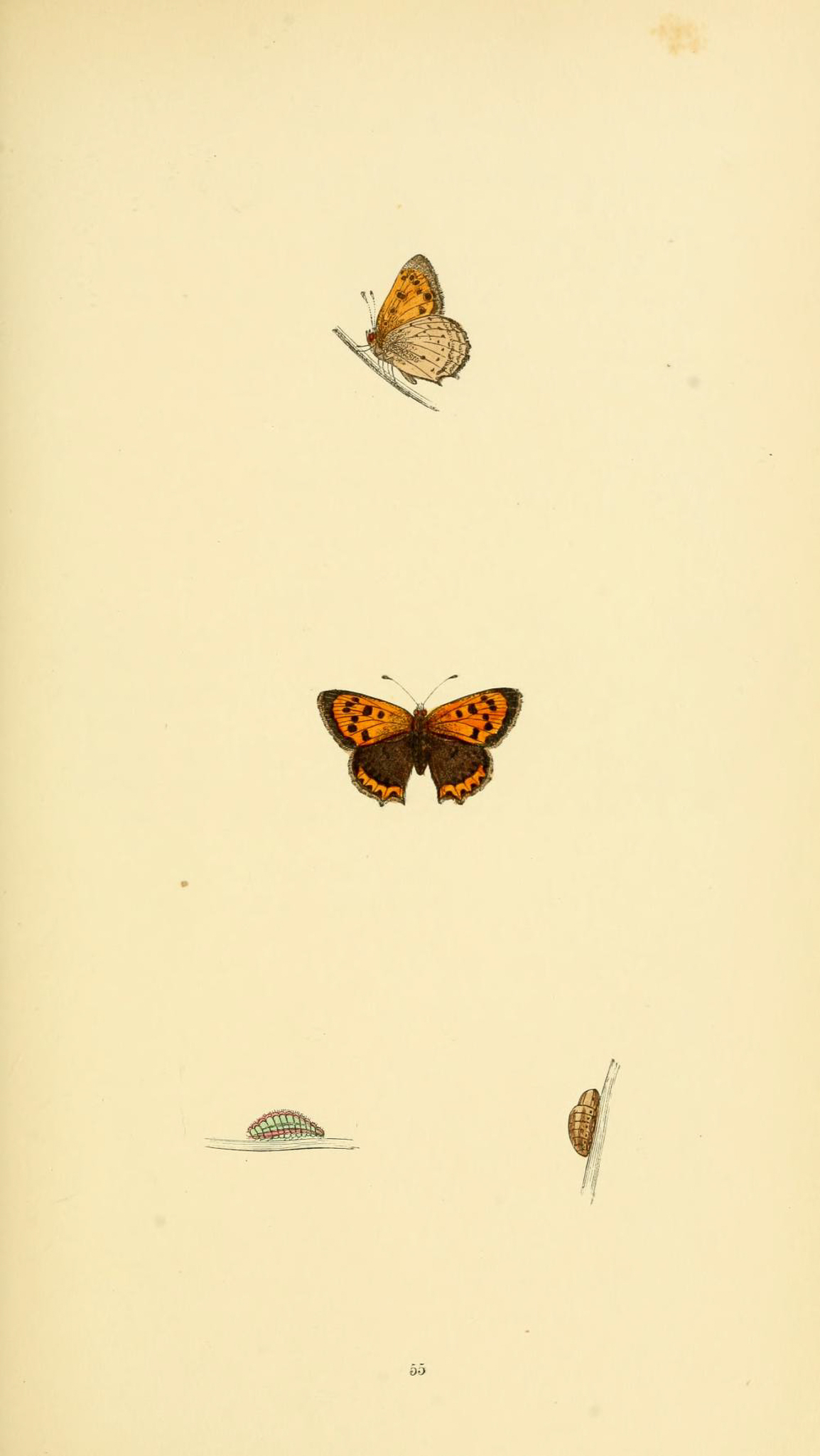 Small Copper Butterfly in Rev F. O. Morris's British Butterflies - The Hall of Einar