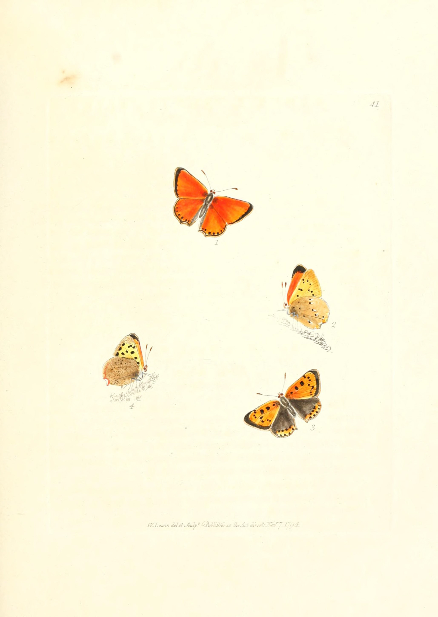 Small Copper - W Lewin - The Papilios of Great Britain - The Hall of Einar