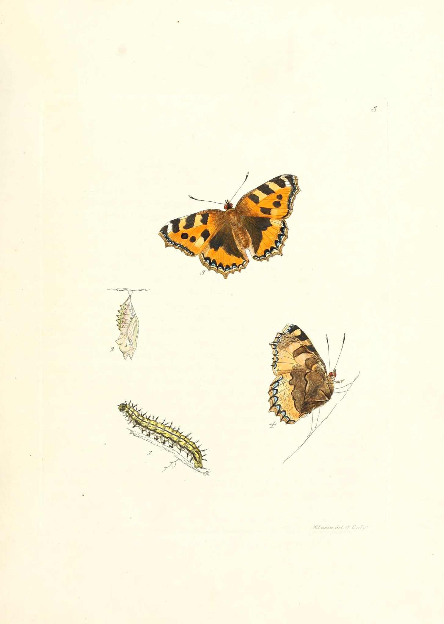 Small Tortoishell - The Hall of Einar