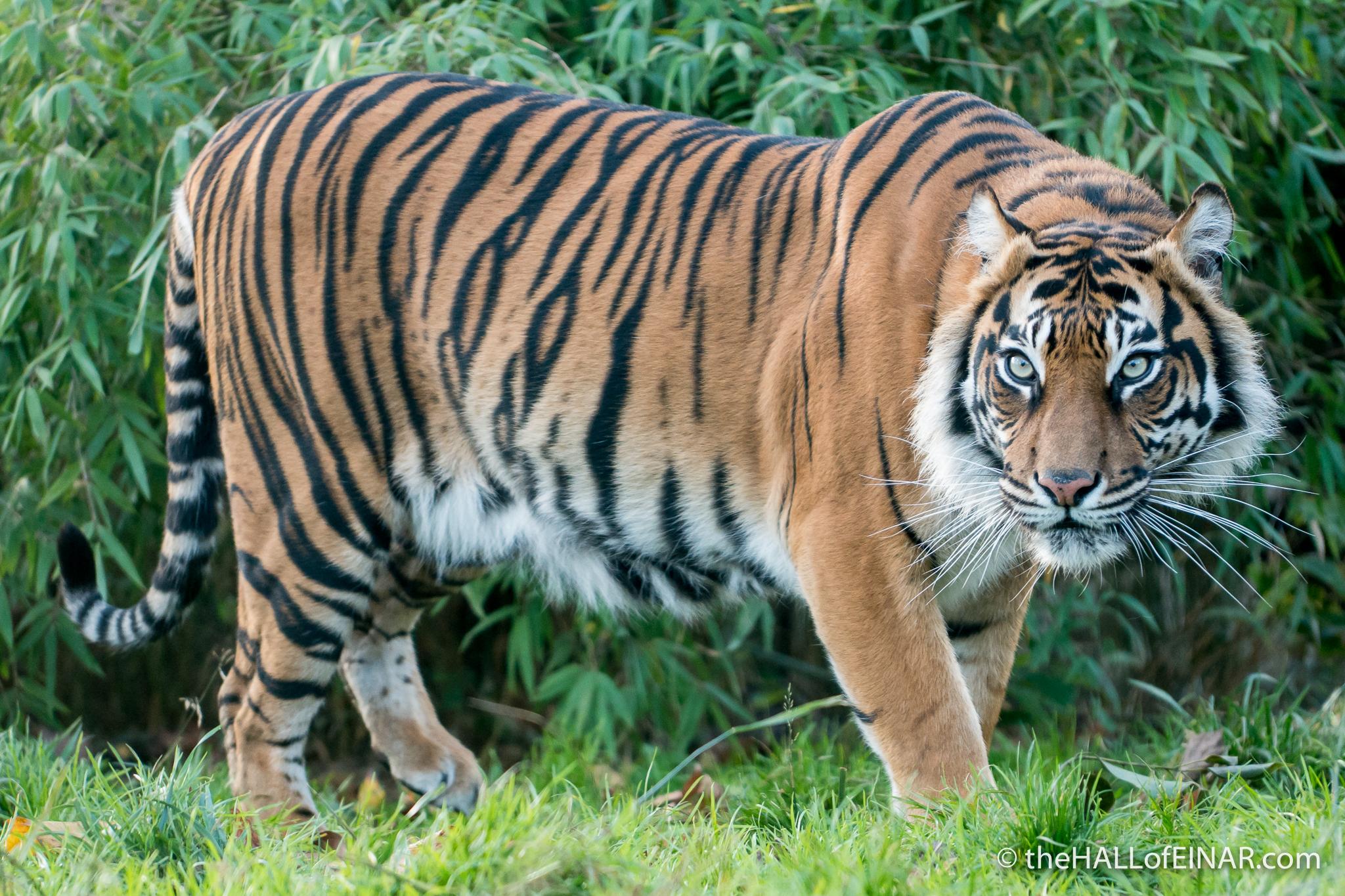 Sumatran Tiger - The Hall of Einar - photograph (c) David Bailey (not the)