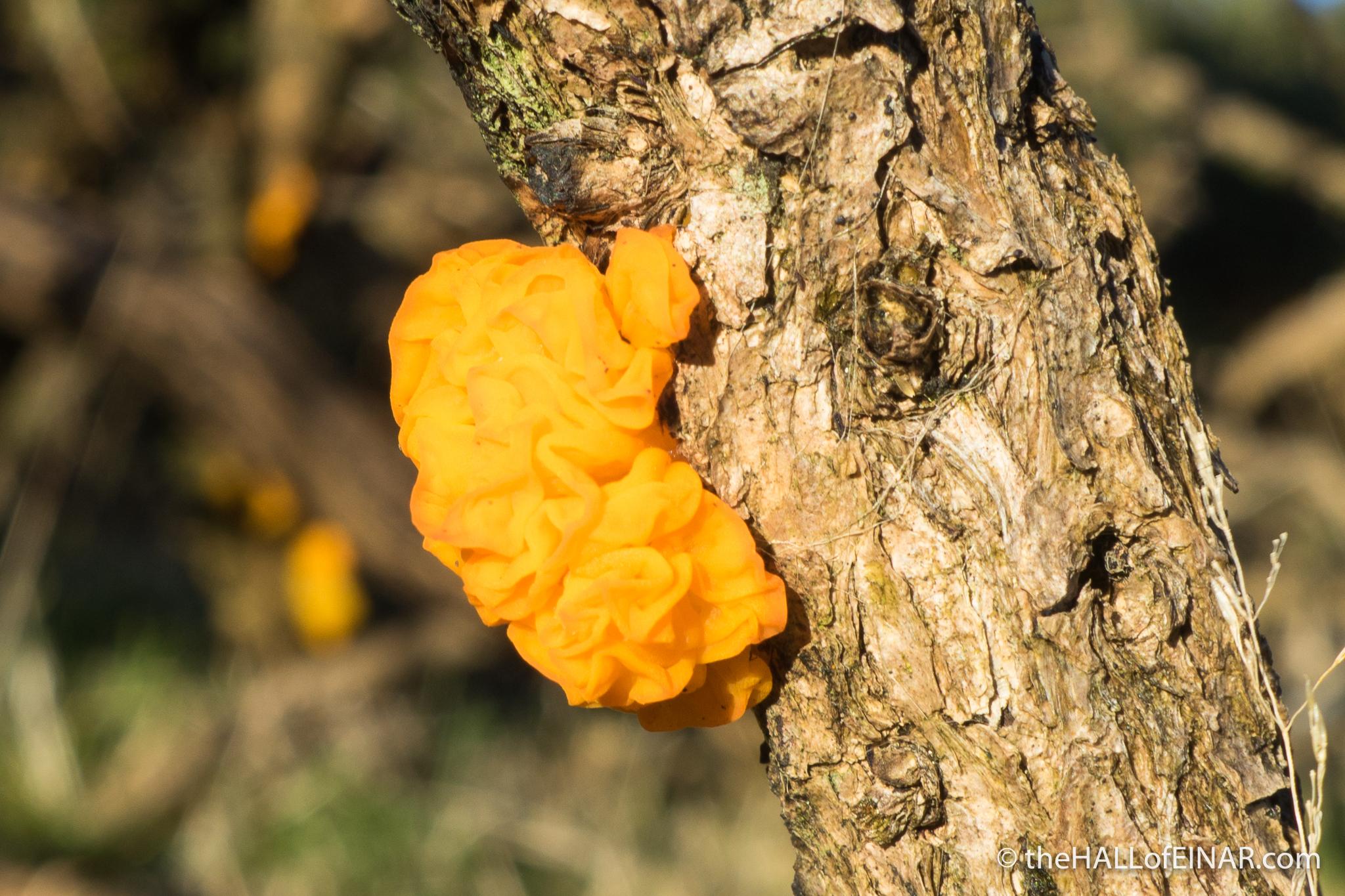 Yellow Brain Fungus (Tremella mesenterica) - The Hall of Einar - photograph (c) David Bailey (not the)