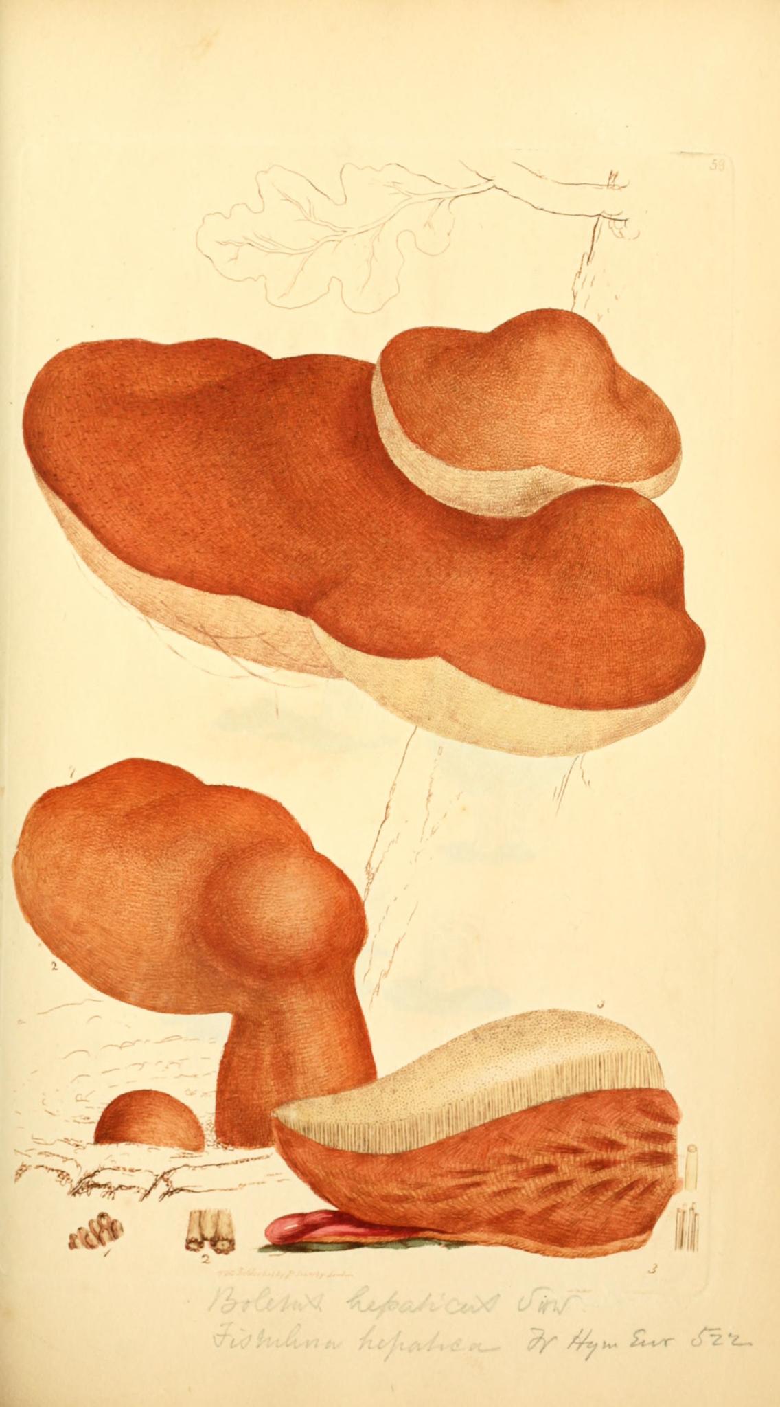 Beefsteak Fungus - The Hall of Einar