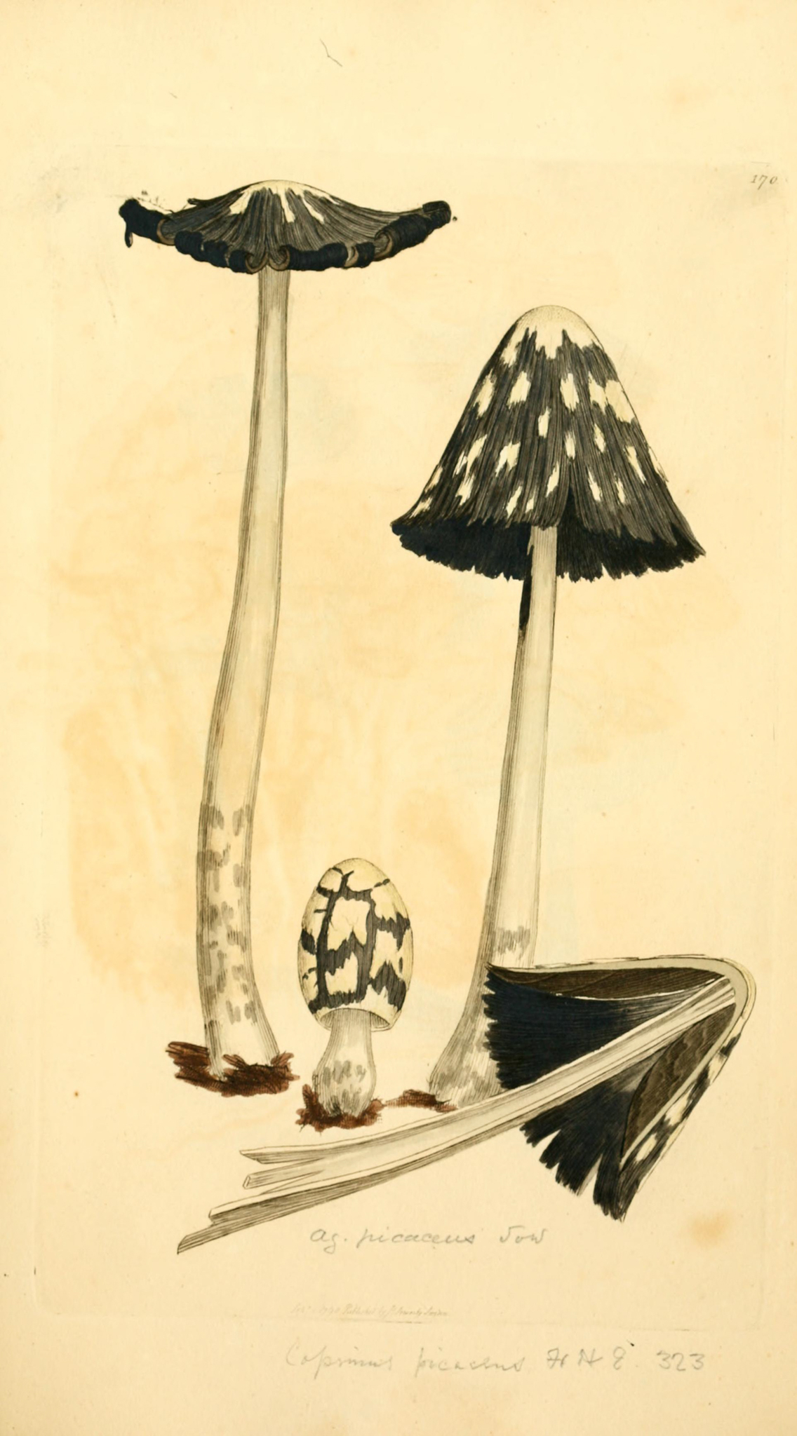 Coprinopsis picacea - The Hall of Einar
