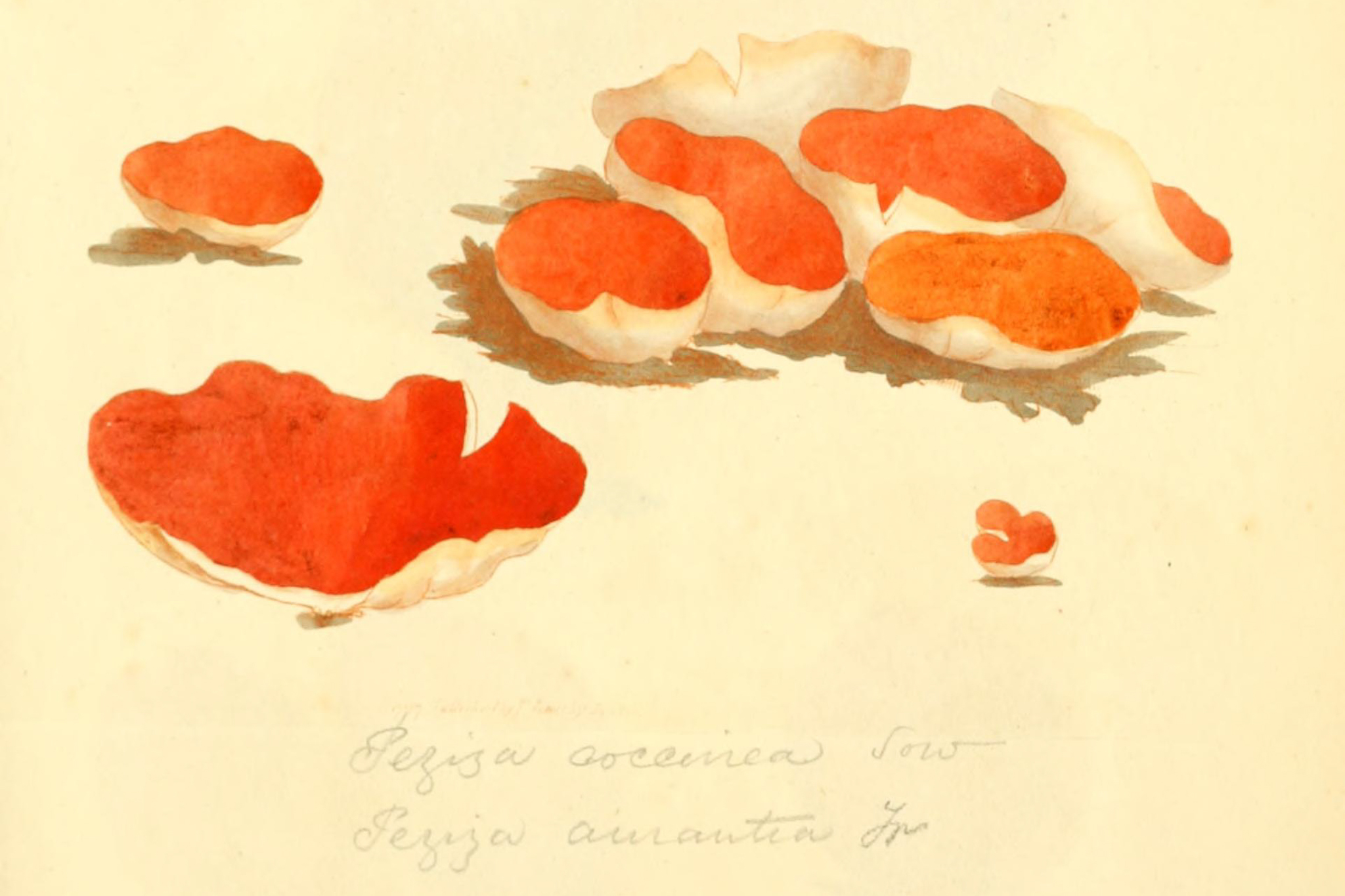 Orange Peel Fungus - The Hall of Einar