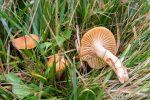 Hygrocybe pratensis - The Hall of Einar - photograph (c) David Bailey (not the)