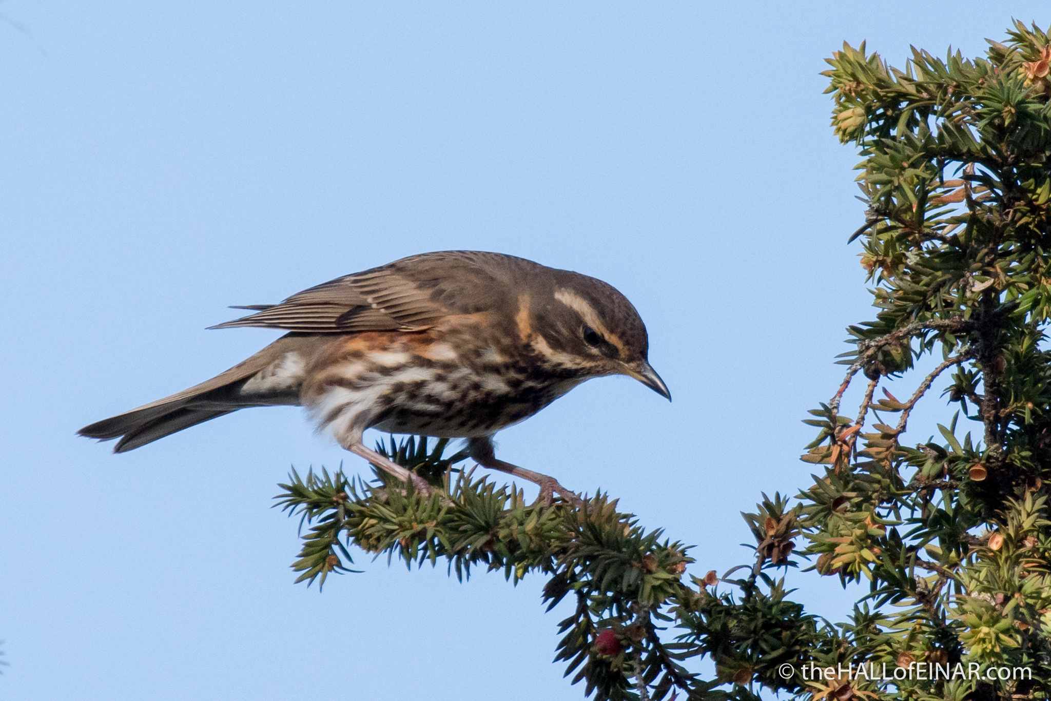 Redwing - The Hall of Einar - photograph (c) David Bailey (not the)