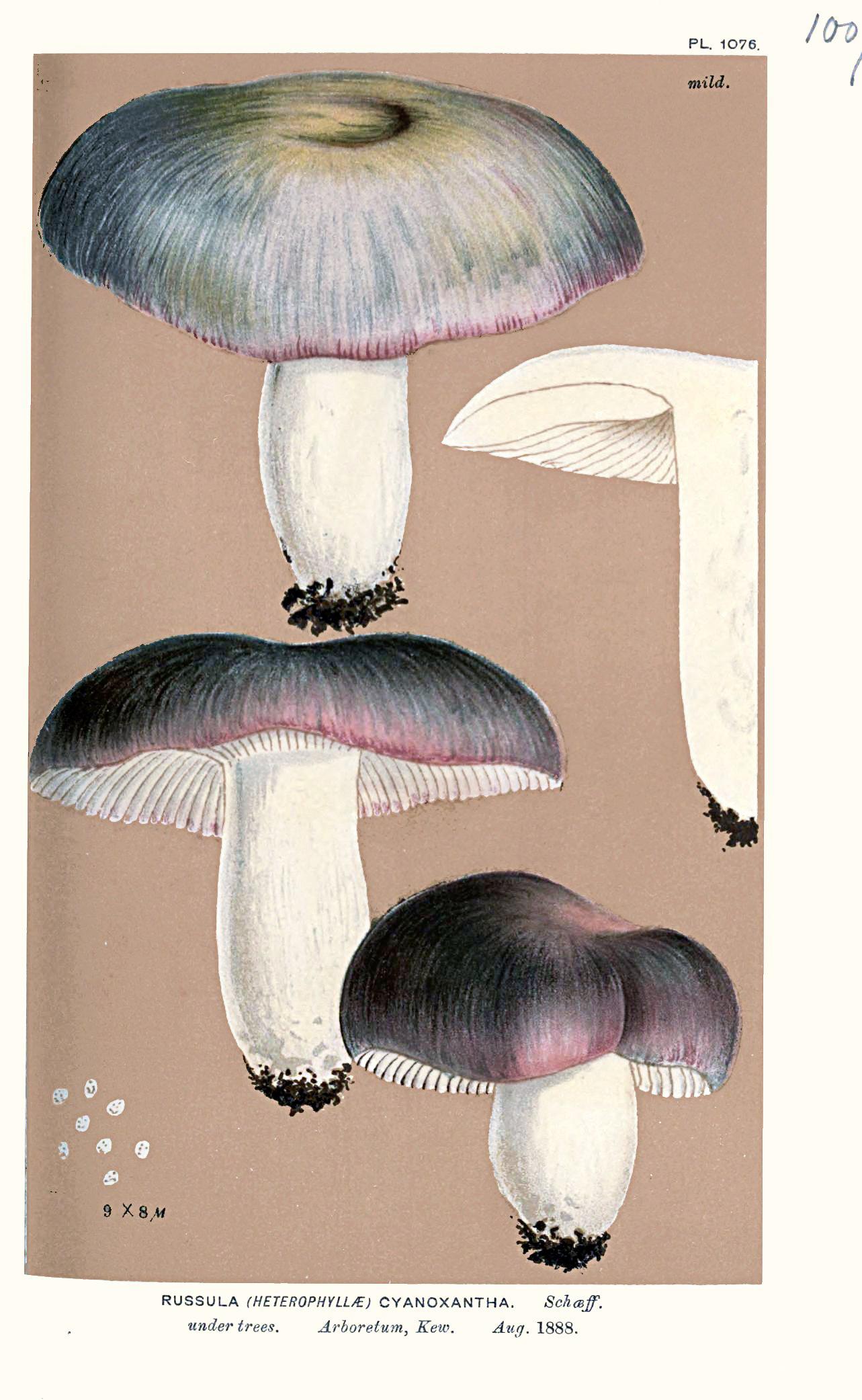 Russula cyanoxantha - The Hall of Einar