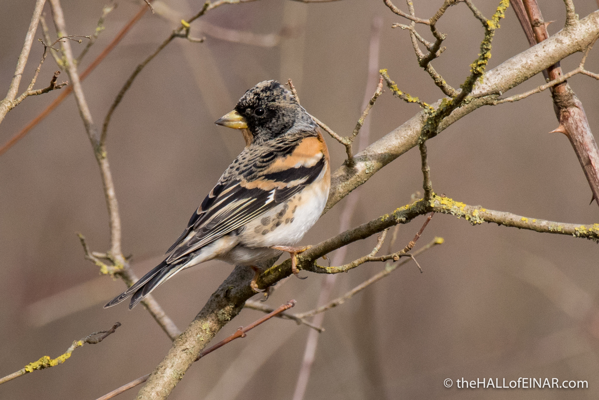 Brambling - The Hall of Einar - photograph (c) David Bailey (not the)