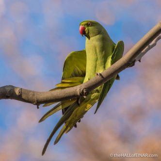 Rose Ringed Parakeet - The Hall of Einar - photograph (c) David Bailey (not the)