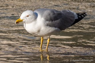 Yellow Legged Gull - The Hall fo Einar - photograph (c) David Bailey (not the)