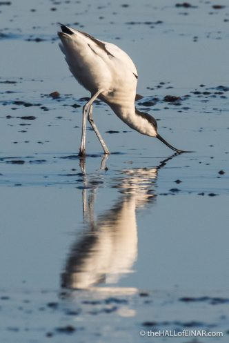 Avocet - The Hall of Einar - photograph (c) David Bailey (not the)