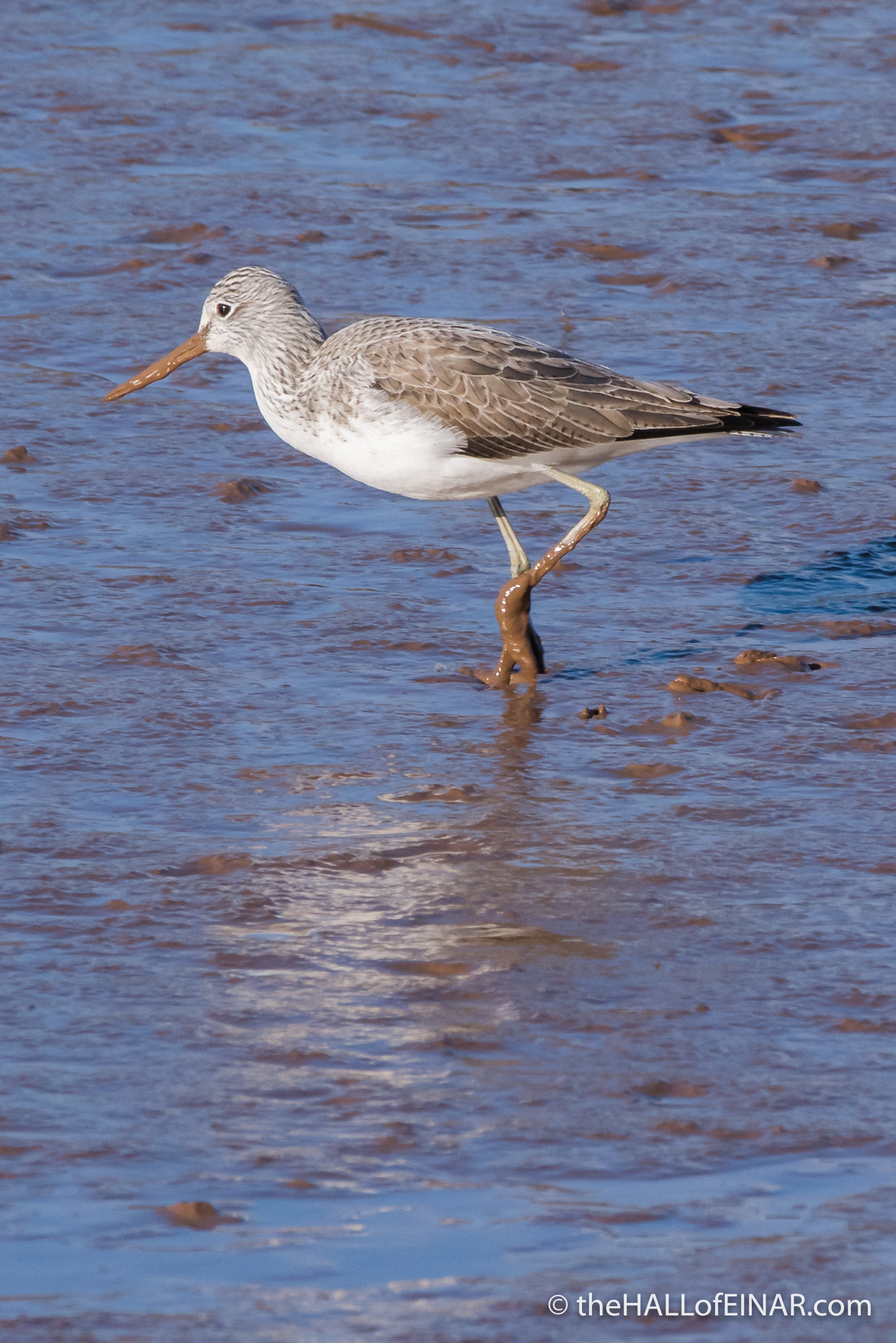 Greenshank - The Hall of Einar - photograph (c) David Bailey (not the)