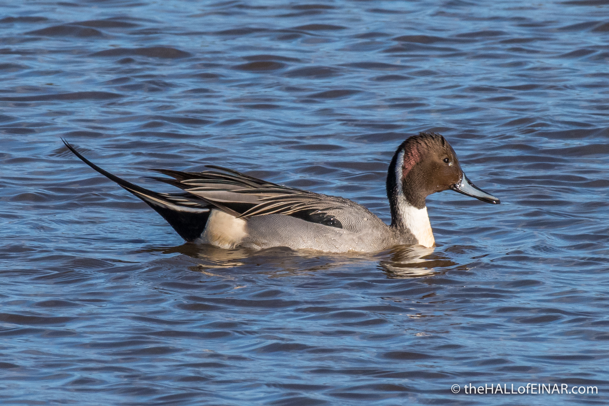 Pintail - The Hall of Einar - photograph (c) David Bailey (not the)