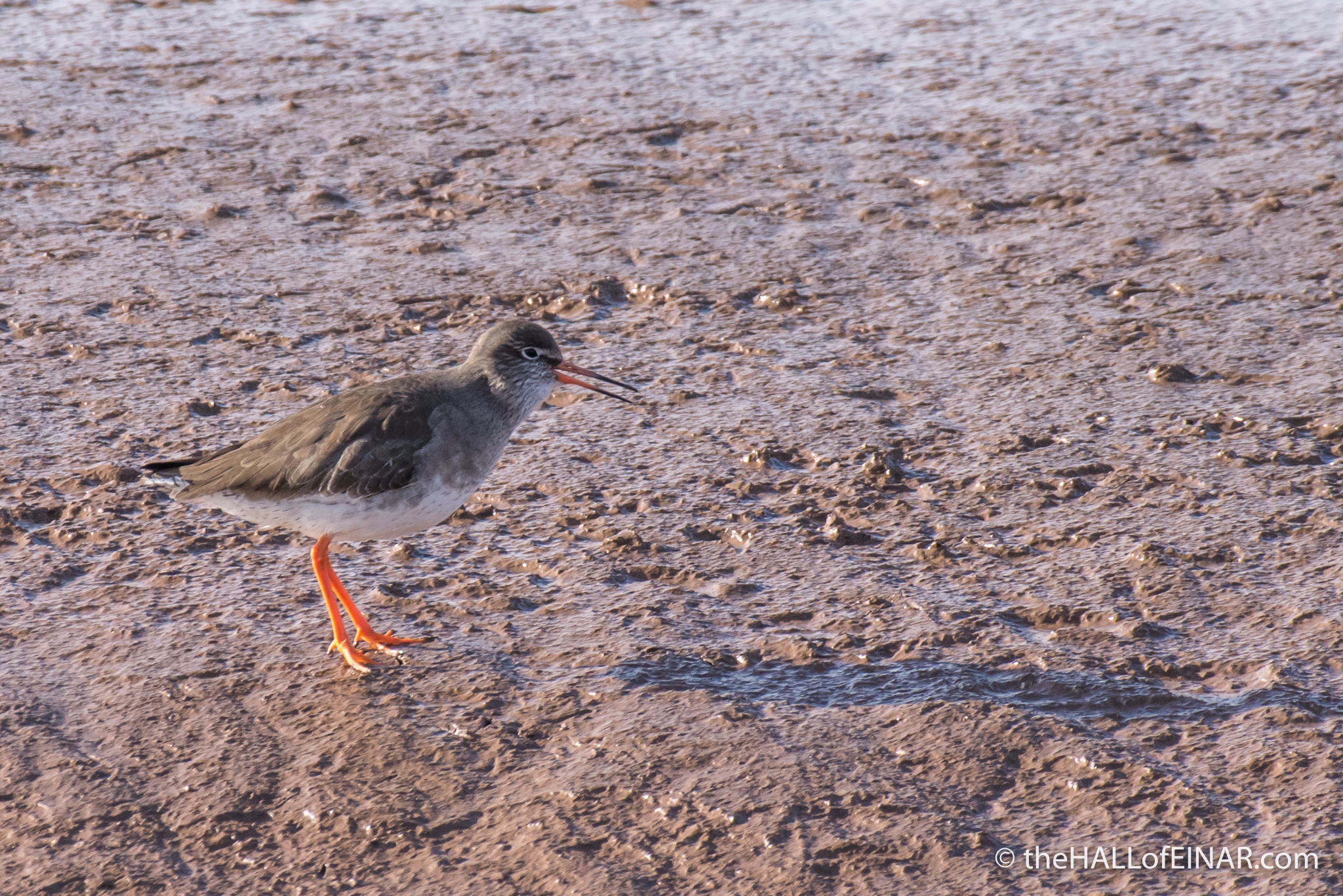 Redshank - The Hall of Einar - photograph (c) David Bailey (not the)