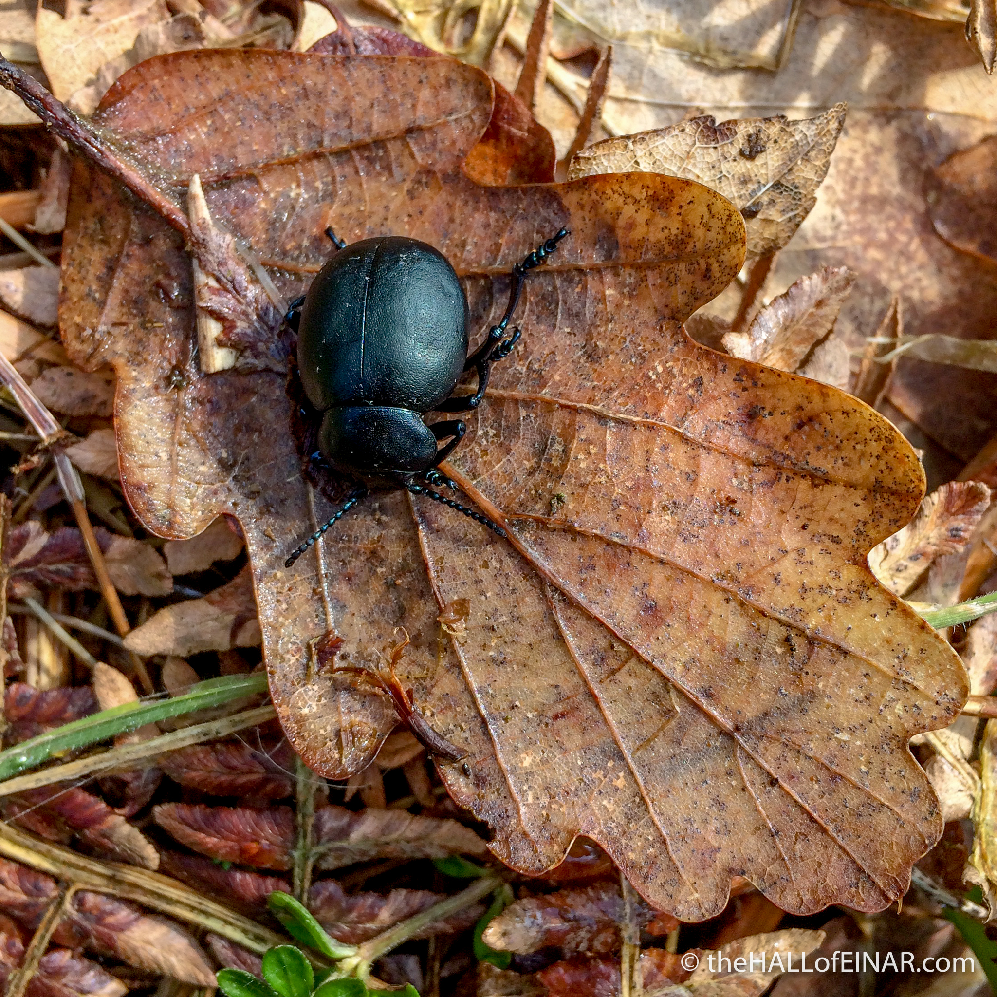 Bloody Nosed Beetle - Bridford Woods - The Hall of Einar - photograph (c) David Bailey (not the)
