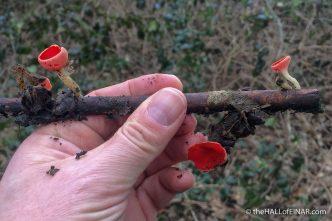 Scarlet Elf Cup Sarcoscypha cocinea - The Hall of Einar - photograph (c) David Bailey (not the)
