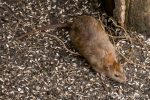 Brown Rat - Stover - The Hall of Einar - photograph (c) David Bailey (not the)
