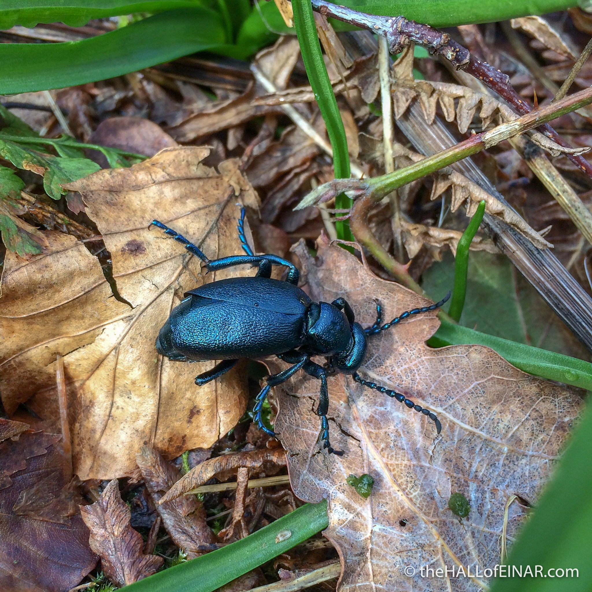 Violet Oil Beetle - Bridford Wood - The Hall of Einar - photograph (c) David Bailey (not the)