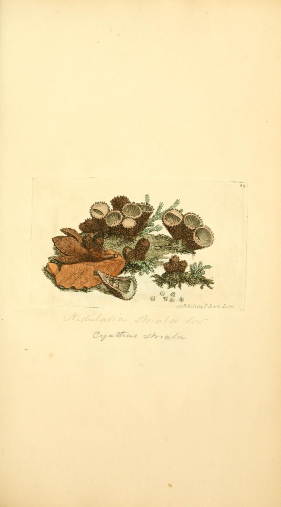 Bird's Nest Fungus - The Hall of Einar