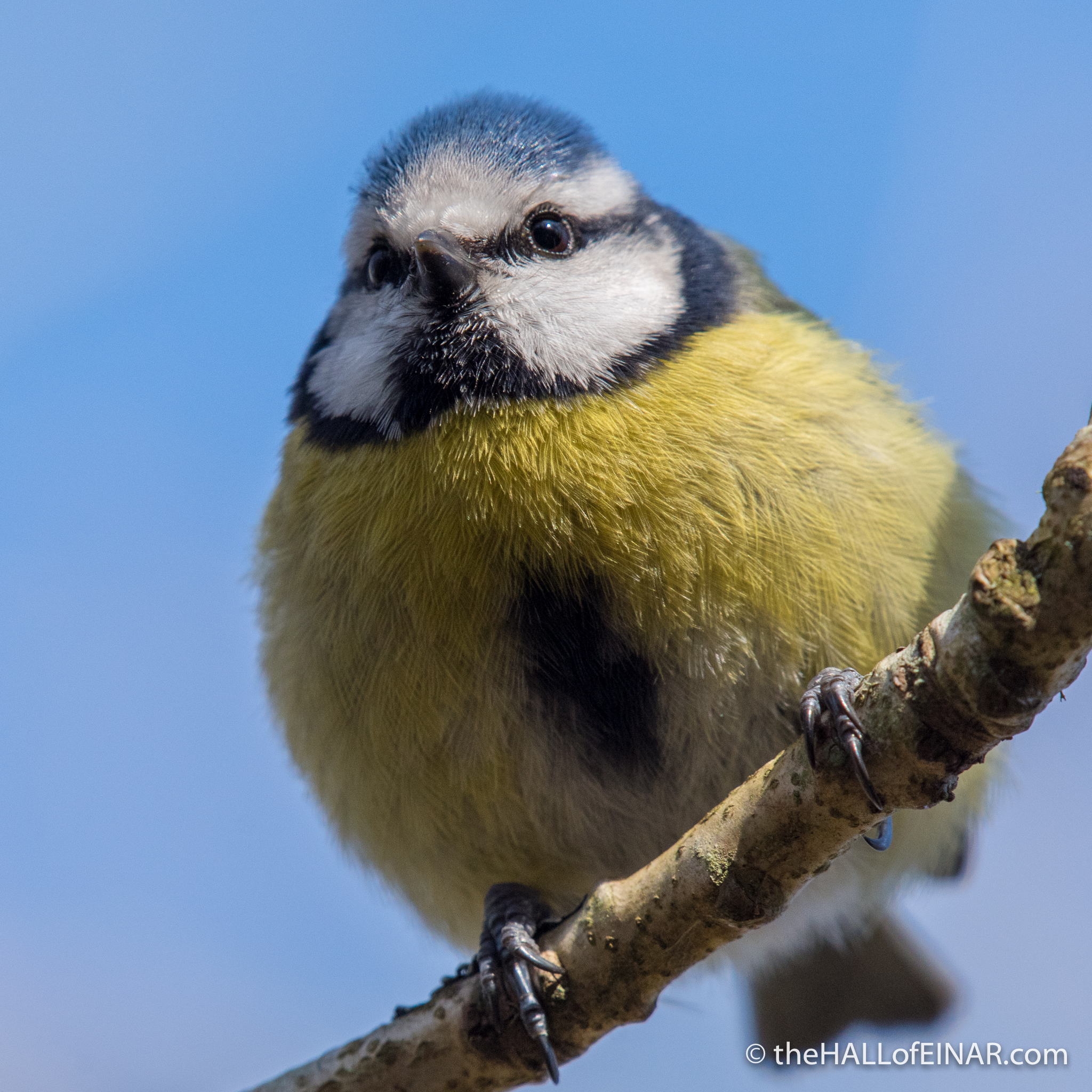 Blue Tit - The Hall of Einar - photograph (c) David Bailey (not the(