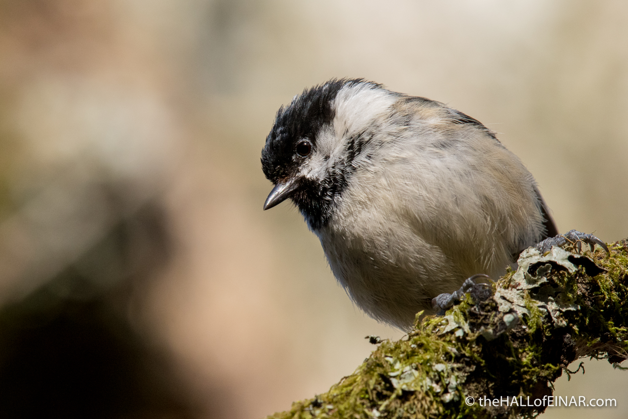 Coal Tit - The Hall of Einar - photograph (c) David Bailey (not the)