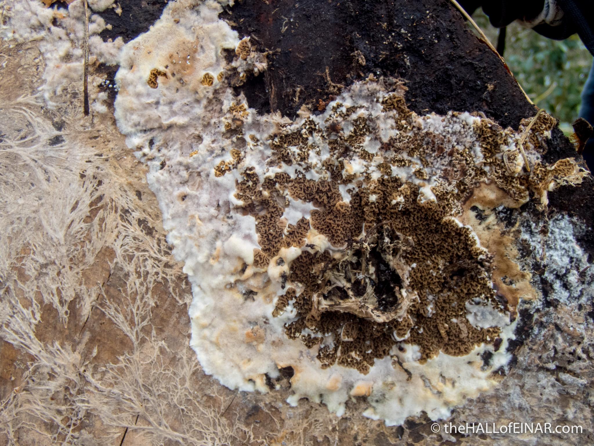Serpula himantiodes - the Hall of Einar - photograph (c) David Bailey (not the)