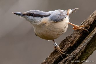Nuthatch - The Hall of Einar - photograph (c) David Bailey (not the)