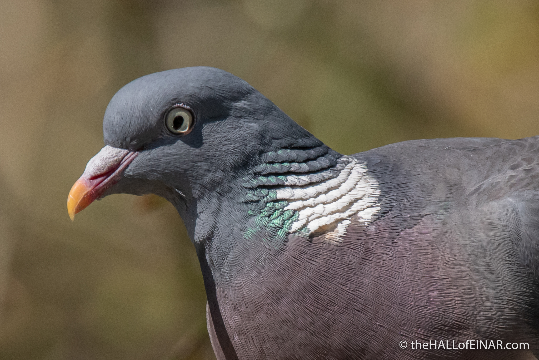 Woodpigeon - The Hall of Einar - photograph (c) David Bailey (not the)