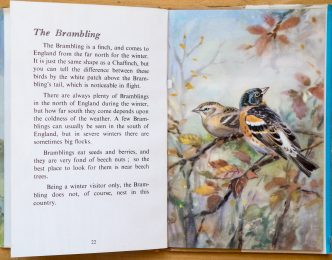 Brambling - Ladybird Book of British Birds