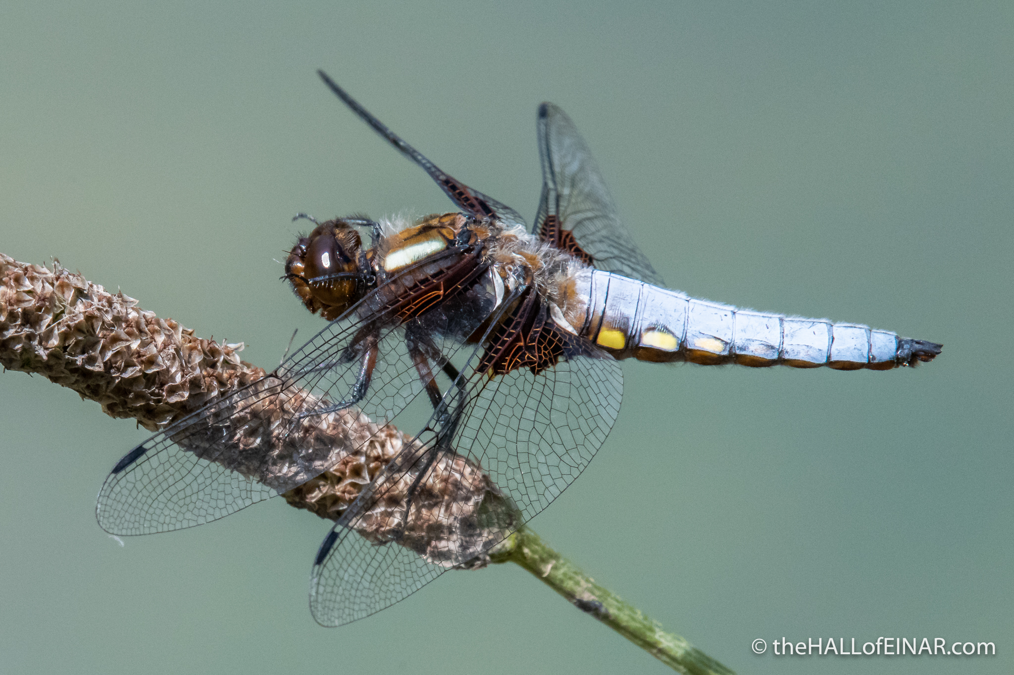 Broad-Bodied Chaser - Matera - The Hall of Einar - photograph (c) David Bailey (not the)