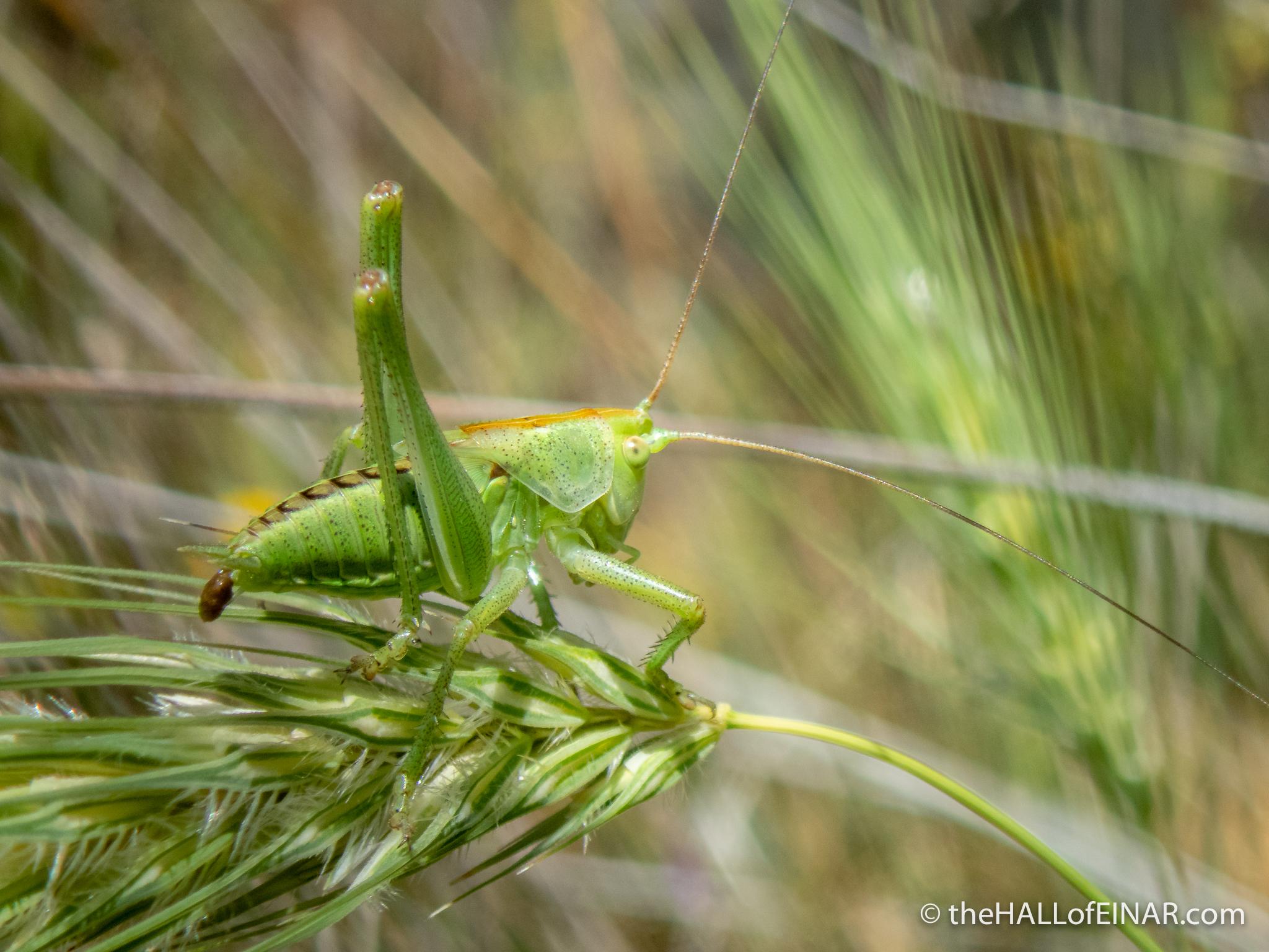 Green Cricket - Matera - The Hall of Einar - photograph (c) David Bailey (not the)
